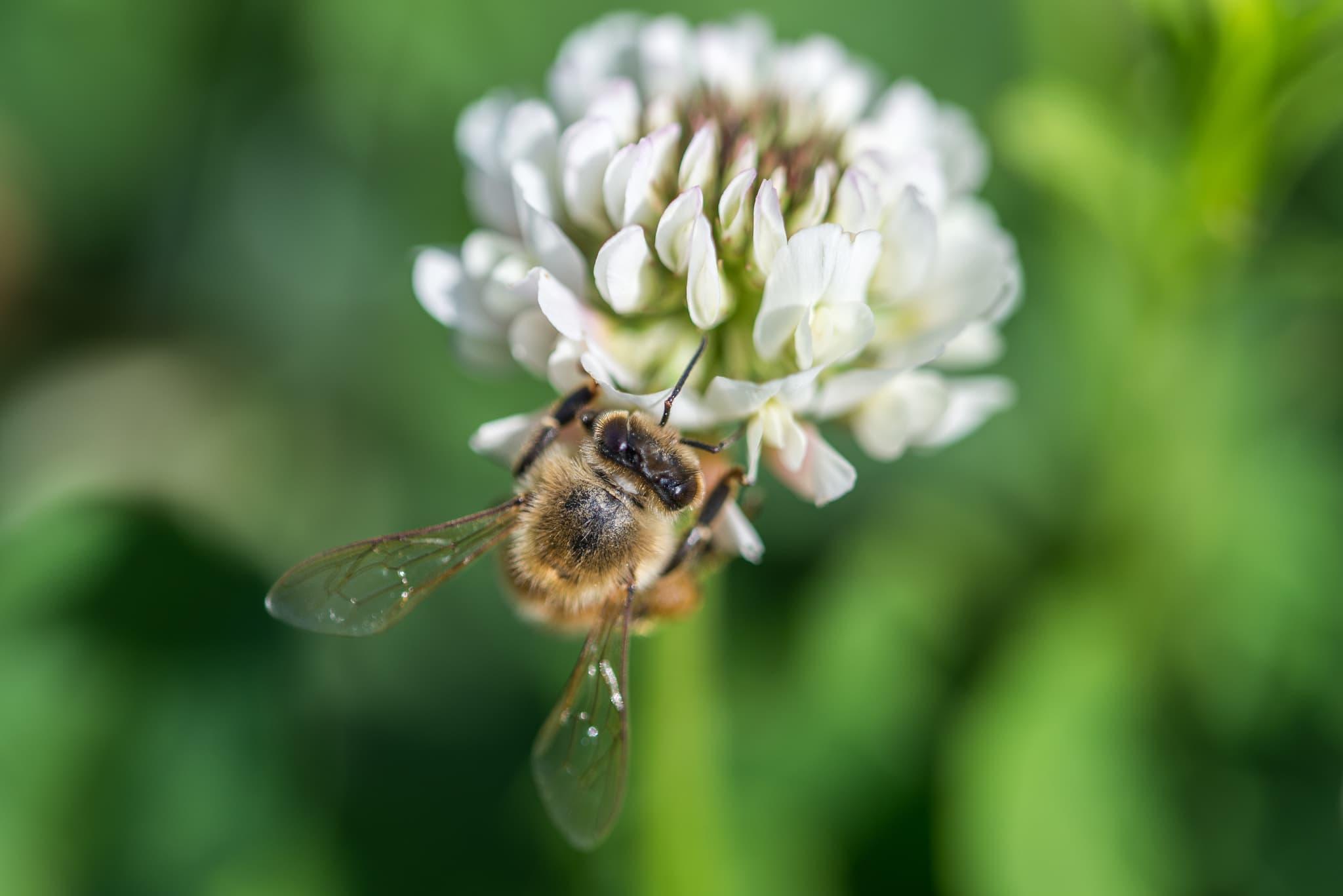 イメージ写真_花の蜜を吸うミツバチ